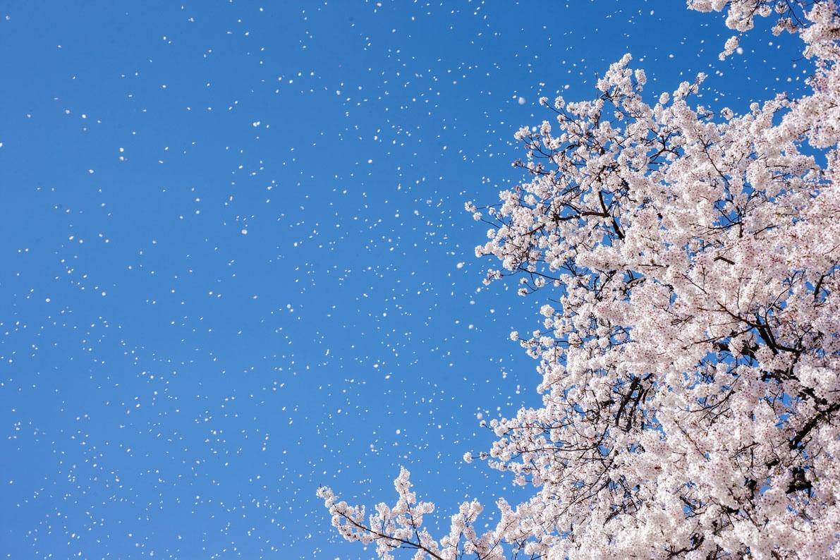 79126497-cherry-blossom-snow