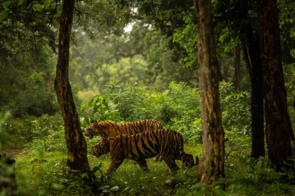 04india-tiger1-jumbo